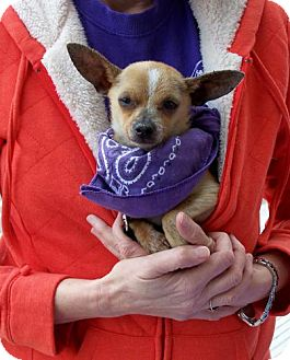 Chihuahua Dog for adoption in San Angelo, Texas - Felix