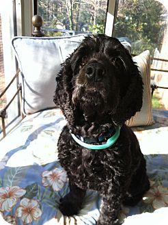 Cocker Spaniel Dog for adoption in Kannapolis, North Carolina - Peanut  -Adopted!
