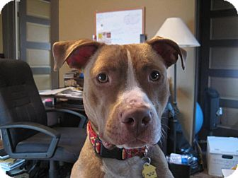Pit Bull Terrier Mix Dog for adoption in Hillsborough, New Jersey - Cody