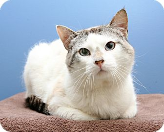 Domestic Shorthair Cat for adoption in Bellingham, Washington - Thomas