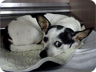 Rat Terrier/Chihuahua Mix Dog for adoption in Freeport, New York - Sarafina