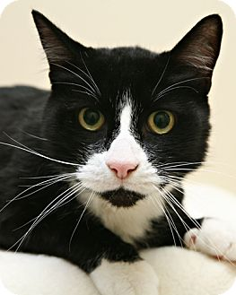 Domestic Shorthair Cat for adoption in Bellingham, Washington - Bootsie