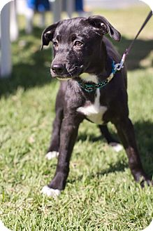 Labrador Retriever Mix Puppy for adoption in Olympia, Washington - Maya