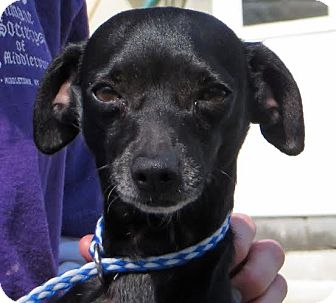 Chihuahua Mix Dog for adoption in Middletown, New York - Chip