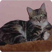 Adopt A Pet :: Tiger - Bedford, MA