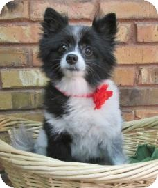 Pomeranian Dog for adoption in Benbrook, Texas - Oreo