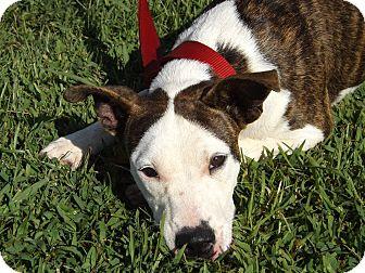 American Pit Bull Terrier/Labrador Retriever Mix Dog for adoption in Thomaston, Georgia - Josephina
