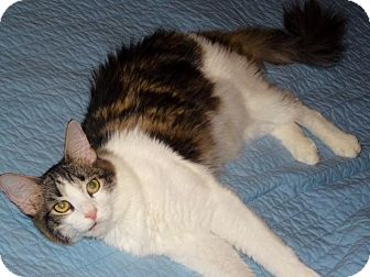 Domestic Mediumhair Cat for adoption in Flower Mound, Texas - Puzzles