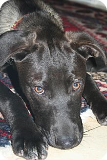 Labrador Retriever Mix Puppy for adoption in Waterbury, Connecticut - Gunnar