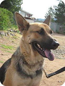 German Shepherd Dog/Labrador Retriever Mix Dog for adoption in Las Cruces, New Mexico - Jade