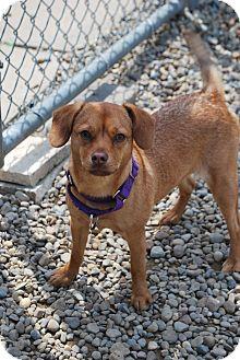 Chihuahua Mix Dog for adoption in Berea, Ohio - Blossom