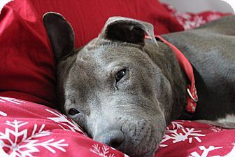American Pit Bull Terrier/American Staffordshire Terrier Mix Dog for adoption in Eastpointe, Michigan - Chances