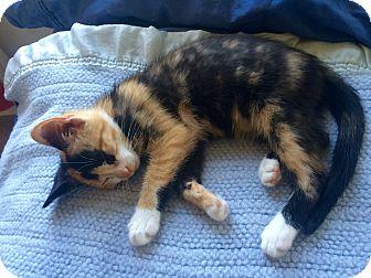 Calico Kitten for adoption in Warren, Michigan - Lisa Left Eye Lopez