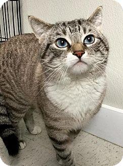 Domestic Shorthair Cat for adoption in Webster, Massachusetts - Thunder