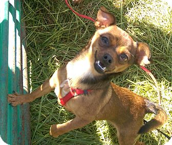Chihuahua Dog for adoption in Ogden, Utah - Riley