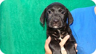 Labrador Retriever/Golden Retriever Mix Puppy for adoption in Oviedo, Florida - Fizz