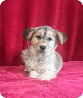 Shepherd (Unknown Type)/Husky Mix Puppy for adoption in Chester, Illinois - Caicos
