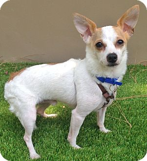 Chihuahua/Jack Russell Terrier Mix Dog for adoption in Los Angeles, California - Pablo