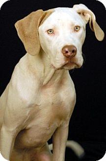 German Shorthaired Pointer/Boxer Mix Puppy for adoption in Newland, North Carolina - Kodi