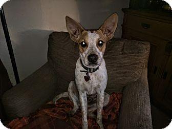 Cattle Dog Mix Dog for adoption in Manhattan, Kansas - Luke