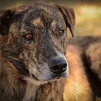 Adopt A Pet :: Valentine W - Olympia, WA