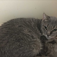 Domestic Shorthair Cat for adoption in Saylorsburg, Pennsylvania - Charlie