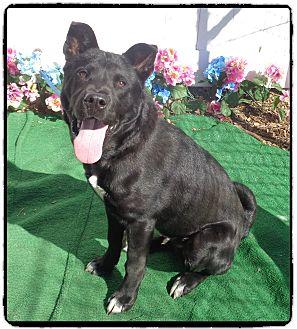 Labrador Retriever/Shepherd (Unknown Type) Mix Dog for adoption in Marietta, Georgia - TEX