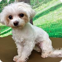 Adopt A Pet :: Mercedes - Encino, CA