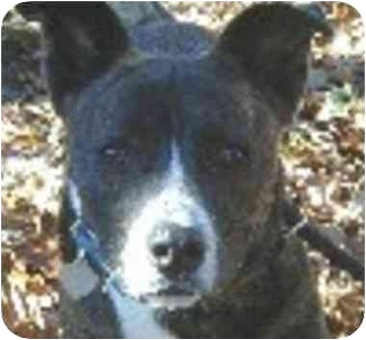 Jack Russell Terrier Mix Dog for adoption in Eatontown, New Jersey - Jack