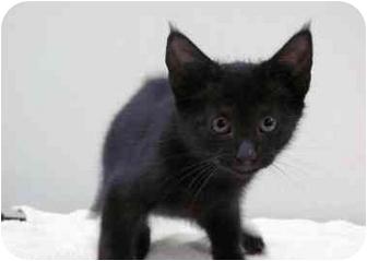 Domestic Shorthair Kitten for adoption in Houston, Texas - Bosley
