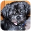 Photo 1 - Shih Tzu Dog for adoption in Edmeston, New York - Mia-NY
