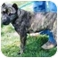 Photo 3 - Australian Cattle Dog/American Pit Bull Terrier Mix Dog for adoption in Berkeley, California - Dante