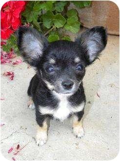 Chihuahua/Papillon Mix Puppy for adoption in La Habra Heights, California - BonBon