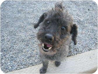 Poodle (Toy or Tea Cup)/Schnauzer (Miniature) Mix Dog for adoption in Spokane, Washington - Mister