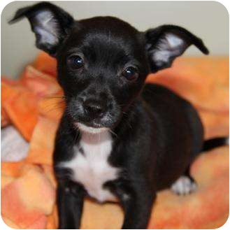 Jack Russell Terrier/Chihuahua Mix Puppy for adoption in San Pedro, California - Baby Gogo