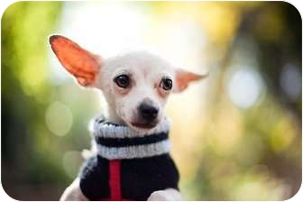 Chihuahua Mix Dog for adoption in Sherman Oaks, California - Little Lewis