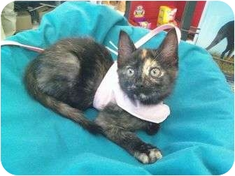 Domestic Shorthair Kitten for adoption in Medford, New Jersey - Peek a Boo
