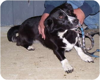 Border Collie Mix Dog for adoption in Somerset, Pennsylvania - Bella Marie