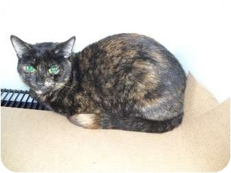 Domestic Shorthair Cat for adoption in Trenton, New Jersey - Onyx #17