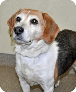 Beagle Dog for adoption in Port Washington, New York - Buddy