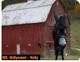 Donkey/Mule/Burro/Hinny Mix for adoption in Malvern, Iowa - Ms. Hollywood