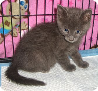 Domestic Shorthair Kitten for adoption in Richmond, Virginia - Clay