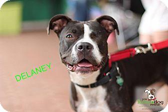 Boxer Mix Dog for adoption in Alpharetta, Georgia - Delaney