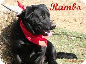 Basset Hound/Labrador Retriever Mix Dog for adoption in Shady Point, Oklahoma - Rambo