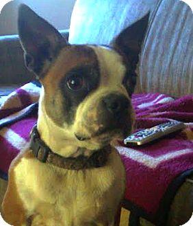 Boston Terrier Mix Dog for adoption in San Francisco, California - Marty