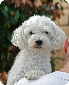 Miniature Poodle Mix Dog for adoption in Coronado, California - Trevor