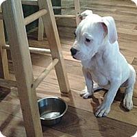 Adopt A Pet :: Lacey - cameron, MO