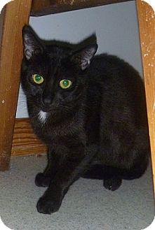 Domestic Shorthair Cat for adoption in Hamburg, New York - Eva