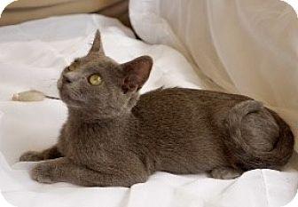 Domestic Shorthair Kitten for adoption in Novato, California - Wolfgang