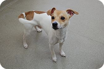 Jack Russell Terrier Mix Dog for adoption in Bucyrus, Ohio - Milo